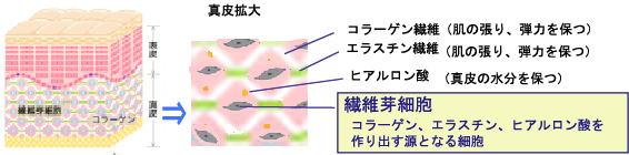 繊維芽細胞 コラーゲン・エラスチン・ヒアルロン酸を作り出す源となる細胞